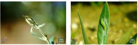 Informe fitosanitario 9 a 15-junio-14 (6)